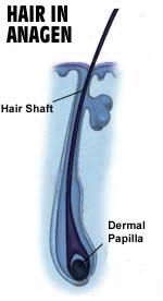 שיער בשלב אנאגן