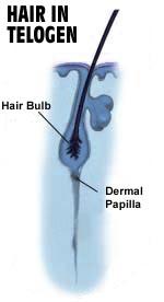 שיער בשלב טלוגן
